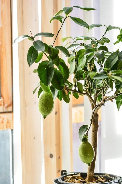 zitronenbaum in der wohnung